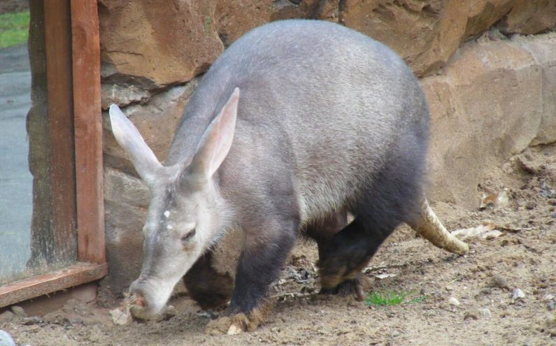 Ground boar, photographed at Blackpool Zoo